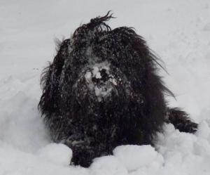 Løwchen i snø
